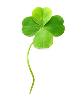 Green four-leaf clover isolated on white