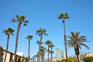 California palm trees against the blue sky