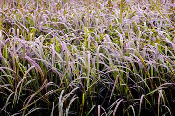 Riceberry Rice Field