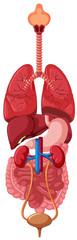 Diagram showing human organs