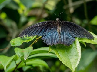 Black butterfly (Great Mormon, Papilio memnon