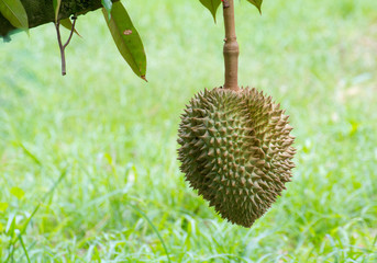 Durian on tree in fruit garden at Chanthaburi Thailand.