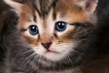 Small siberian kitten