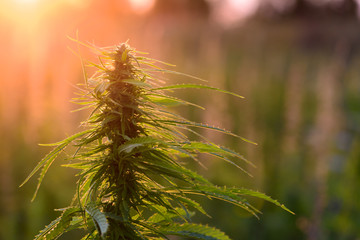 Marijuana plant at sunrise
