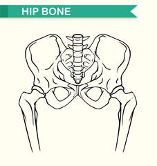 Human hip bone on paper