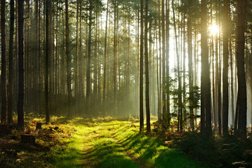 Footpath through Spruce Tree Forest Illuminated by Sunbeams through Fog, real photograph, no composing