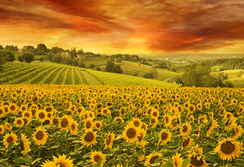 Aluminium Prints Village sunflowers field in the italian hill at sunset