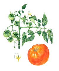 Set of red tomato and green tomatoes on branch with leaves and yellow flower. Watercolor botanical illustration
