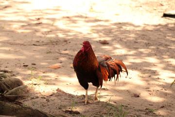 big rooster walking outside