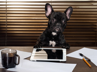 Foto op Aluminium Franse bulldog The dog in the office behind a desk. Cabinet, tablet, paper and cup of coffee. Bulldog - boss at the table. The concept business, pet, head the company, the