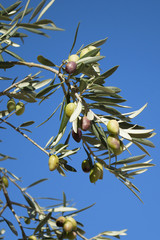 Detail of wild olive tree with unripe green and black olives on blue sky background