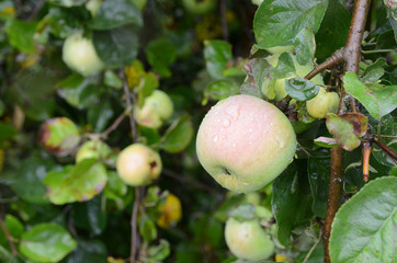 Organic green apples on a tree branch in the garden. Concept for natural healthy diet. Copyspace