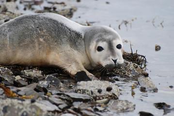 Harbor Seal Pup at the Ocean's Edge