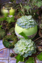 Succulent plants in the garden.