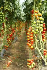 plantation ripe tomatoes