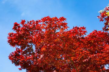 赤い楓と青空