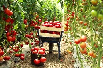 harvest ripe tomatoes