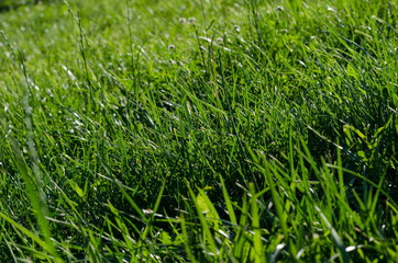 Background of green grass on a summer day, shallow depth of field