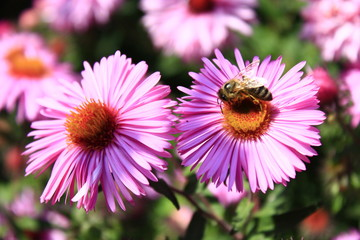 bee on the flower of aster