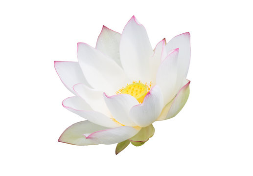 white water lily flower (lotus) and white background. The lotus