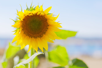Big sunflower on blue sky background. Flower with yellow petals no seeds.