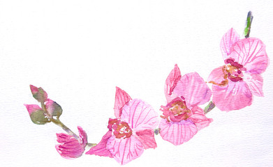Branch of pink orchid on white, watercolor illustrator