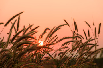 beautiful landscape image with grass flower at sunset