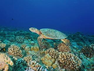 A hawksbill sea turtle, Eretmochelys imbricata, underwater on a coral reef, Pacific ocean, Tuamotu archipelago, French Polynesia