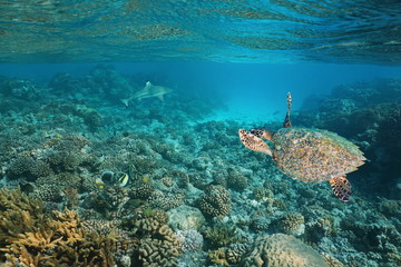 A hawksbill sea turtle underwater on a shallow coral reef with a shark in background, Pacific ocean, Tuamotus, French Polynesia