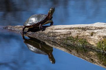 Painted Turtle - Chrysemys picta, warming up on a bright sunny day by sunning on a log.  Still lake water shows a reflection of turtle, log, and blue sky.