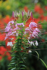 Tall stalk of flower with pretty purple blossoms sprouting from sides.