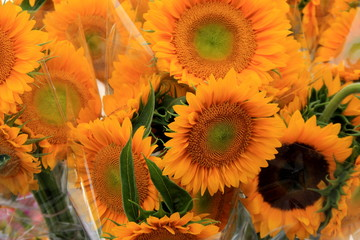 Bunches of bright and colorful Sunflowers wrapped in clear plastic and ready for sale at local farmers market.