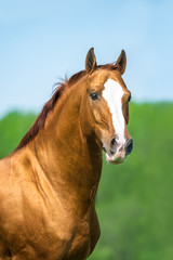 Golden red Don horse portrait in summer time