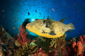 Puffer fish coral reef Kamodo National Park Indonesia