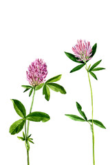 watercolor drawing flowers of clover
