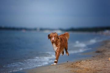 Dog Nova Scotia Duck Tolling Retriever on the beach, near the sea