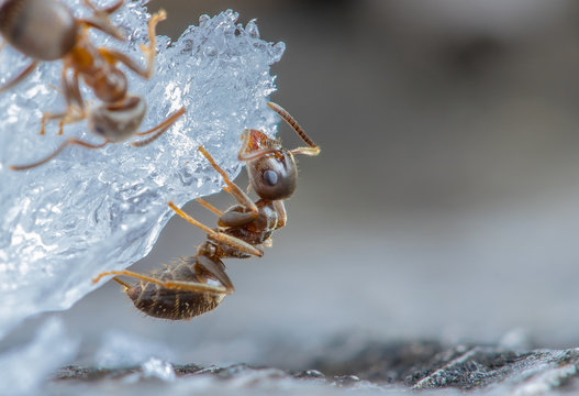 Ameisen sitzen am Zucker und fressen.