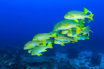 Fish school underwater: Ribbon Sweetlips coral reef