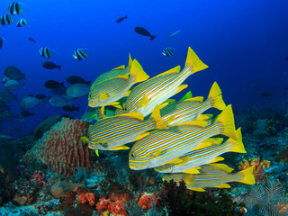 Fish school underwater: Ribbon Sweetlips coral reef