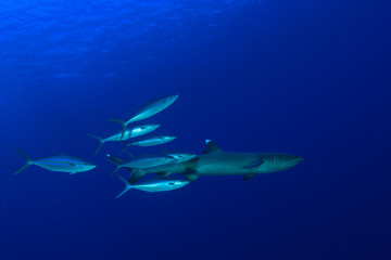 Whitetip Reef Shark and Rainbow Runner fish