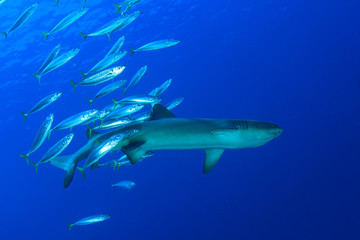 Whitetip Reef Shark and fish in ocean