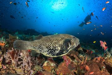 Scuba diver puffer fish coral reef