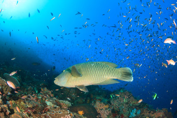 Napoleon Wrasse fish on coral reef
