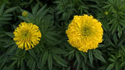 Yellow Calendula Blooming