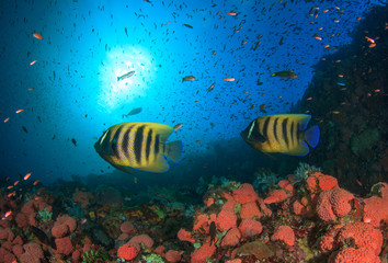 Koran Angelfish pair fish coral reef underwater