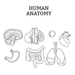 Human Internal Organ