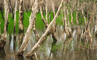 Melaleuca Cajuputi swap forest wetland