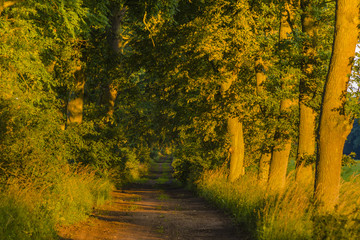 old oak alley in the morning light