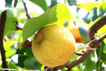 Japanese pear tree