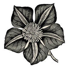 Vintage Wood Flower Clematis Vector Element